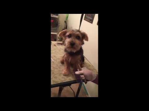 Norfolk Terrier Grooming