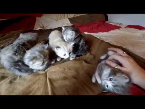 RagaMuffin Kittens-Disney Villains 4wk-Imperial Rags
