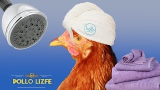 ASÍ SE BAÑAN LAS GALLINAS - How do the chickens bathe?
