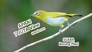MASTERAN! Suara Burung Pleci Gacor Ngalas Mp3 | Zosterops Japonicus
