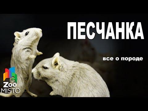 Песчанка Все о виде грызуна | Вид грызуна Песчанка