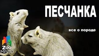 Песчанка - Все о виде грызуна | Вид грызуна - Песчанка