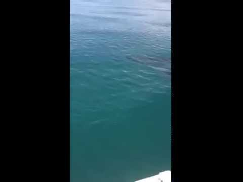 Great White - Huge Shark very close to his boat.  Warning explicit Language.