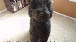 Unclipped Standard Poodle - Unshaved Standard Poodle