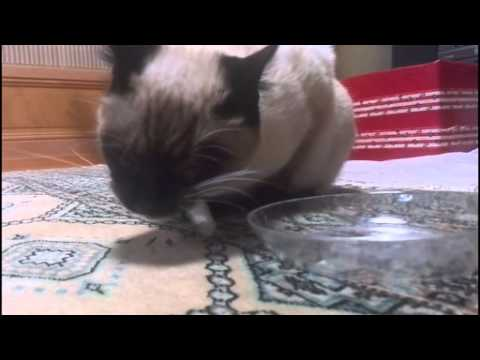 Funny and cute my siamese cat poor drinking.