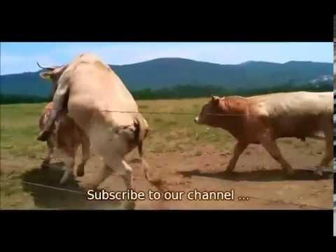 Cow 2013