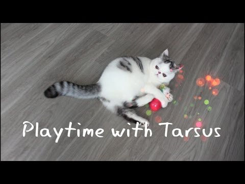 Exotic Shorthair Kitten Soccer Playtime