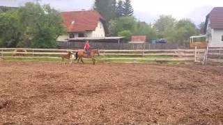 Quarter Horse Rooster Gonna Rein 40 Tage Alt