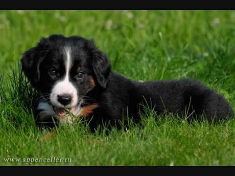 Все породы собак.Аппенцелльская горная собака(Appenzell Mountain Dog)