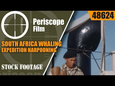 SOUTH AFRICA WHALING EXPEDITION  HARPOONING & PROCESSING FIN WHALES  48624