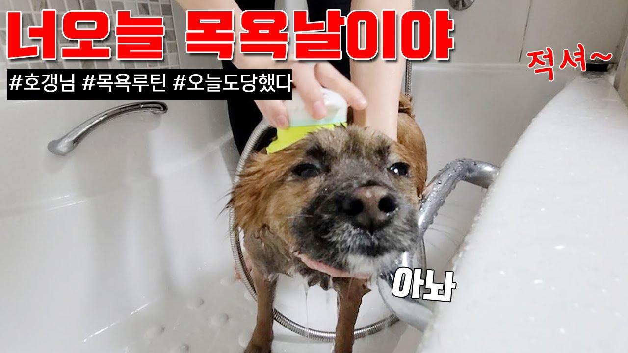 너오늘 목욕날이야 (섹시한 강아지 목욕 루틴, 적셔~)