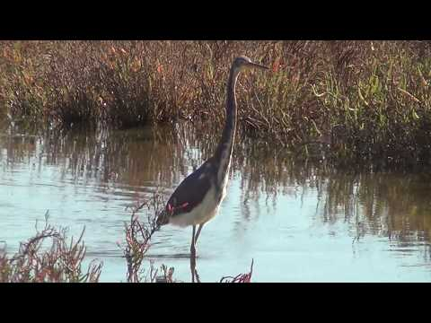 North American Wildlife --- Tricolored Heron at Bolsa Chica Ecological Reserve