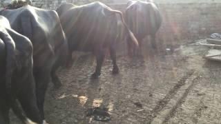 Bhopalwala buffalo dairy farm, bhopalwala , Pakistan , Riaz Ahmed Gujjar