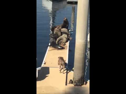 Sea lions attacked by pitbull