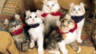 Порода кошек - кёрлы. GuberniaTV