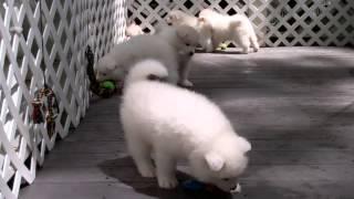 Samoyed Puppies Playing (44 days old)