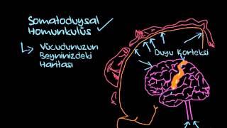 Somatoduysal Homunkulüs (Sinir Sistemi Fizyolojisi) (Psikoloji / Çevreyi Algılama)