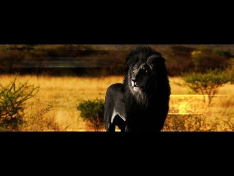 Il est le vrai BLACK LION - YouTube