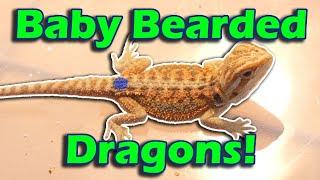 touring-a-bearded-dragon-breeder-facility