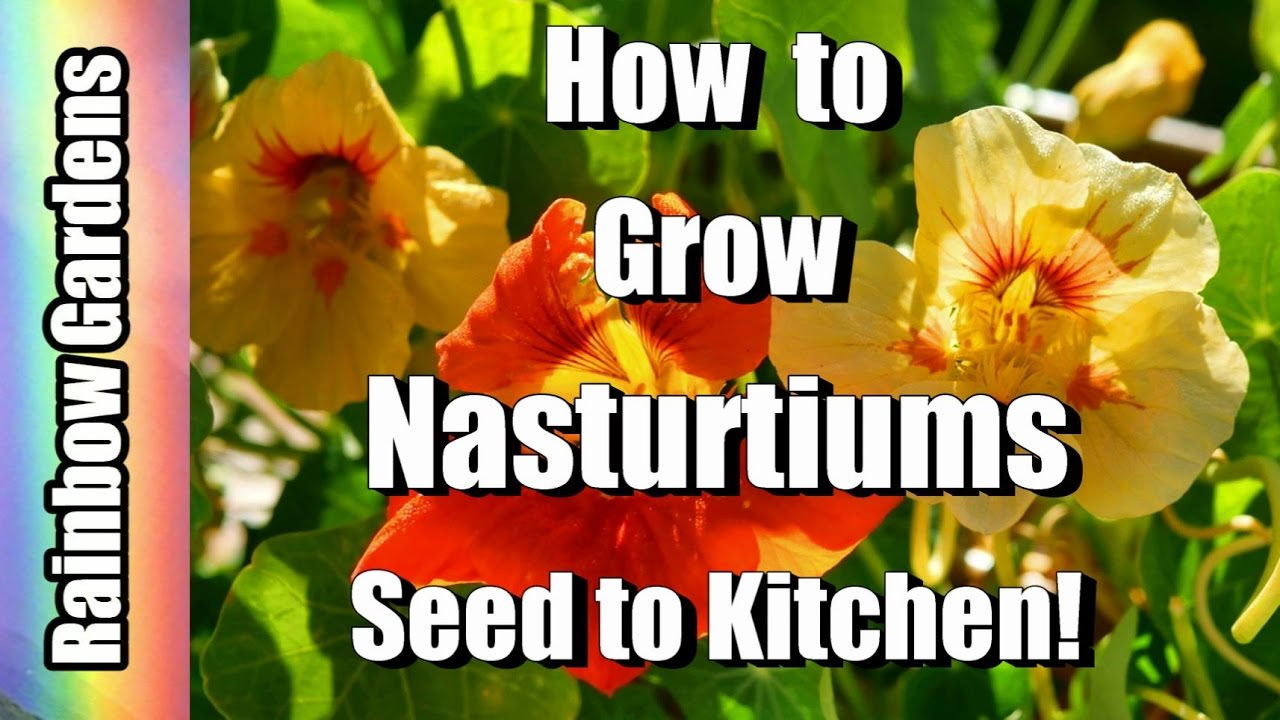 how to grow nasturtiums from seed uk