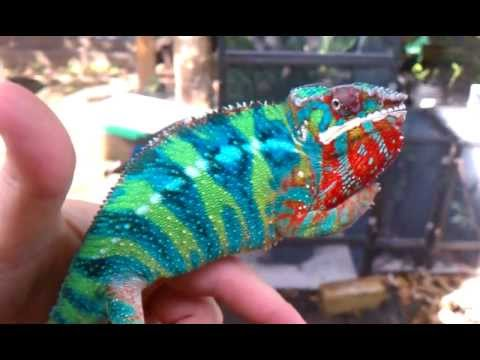 The most AMAZING panther chameleon in the world!