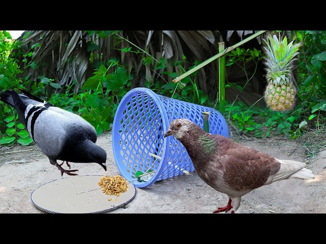 Building Easy Bird Trap Using Basket With Pineapple Fruit - Technology Bird Trap