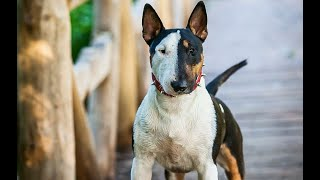 Bull Type Terrier Dog Breeds| DIVISION 3 | Segment 3