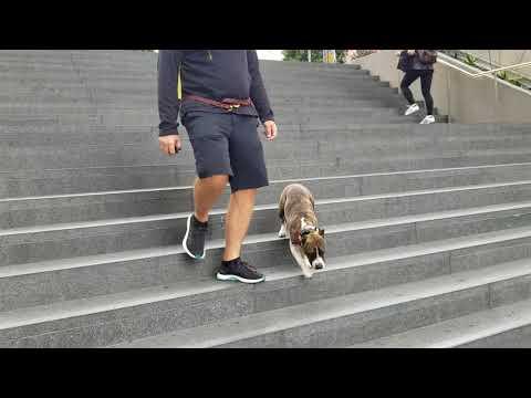 Zoe | American Standard Terrier | La Crescenta, CA