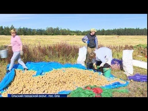 Новый скороспелый и супер-урожайный сорт картошки создали магаданские ученые