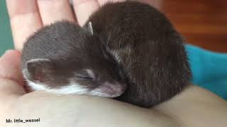 Маленькая ласка уснула на ладошке