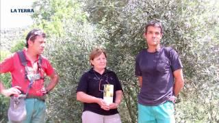 Iniciativa. Pagesos de Cardona recuperen la varietat d'oliva corbella per fer-se un lloc al mercat