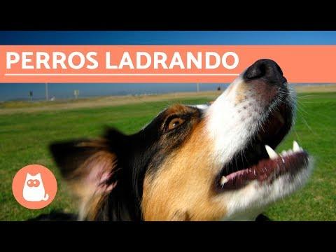 Los mejores LADRIDOS DE PERROS Perros LADRANDO ¡MUY DIVERTIDO!