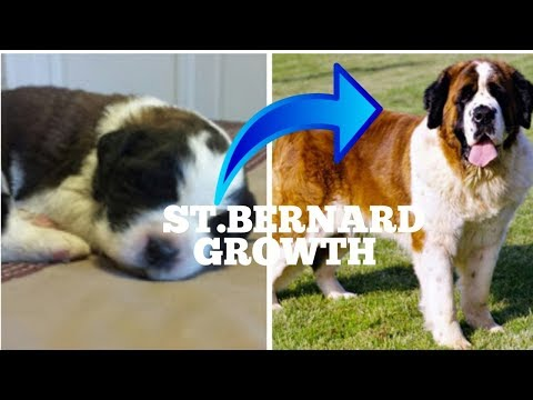 Saint Bernard from puppy to Adult| SAINT BERNARD DOG GROWTH DOGGIES TRAINING