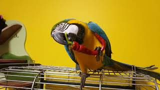 Попугай ара ест горький перец