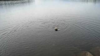 Bonzo The Cairn Terrier Swimming