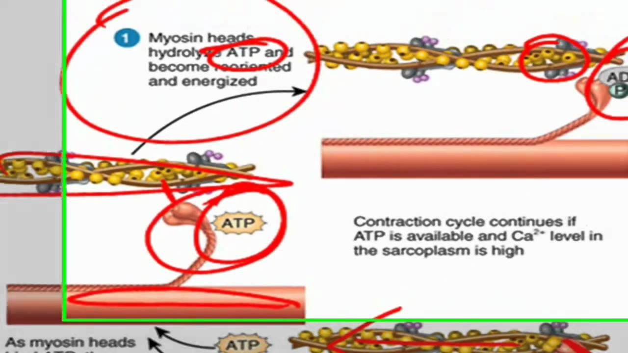 sliding filament theory of muscle contraction - youtube, Muscles