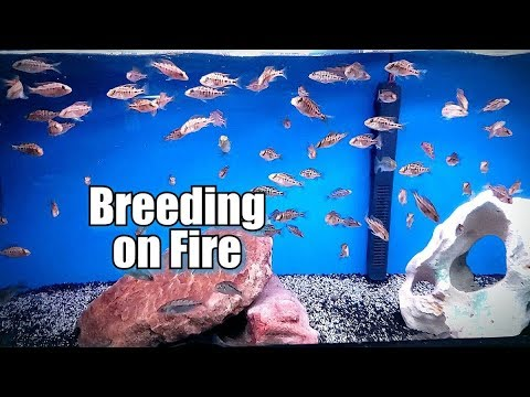 MY AFRICAN CICHLID FISH ROOM IS GOING CRAZY WITH BREEDING