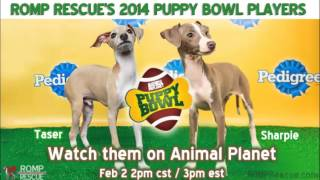 Chicago Animal Planet Puppy Bowl 2014 Italian Greyhounds on WBBM radio - ROMP Rescue
