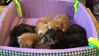 Котятам мейн кун 1 неделя