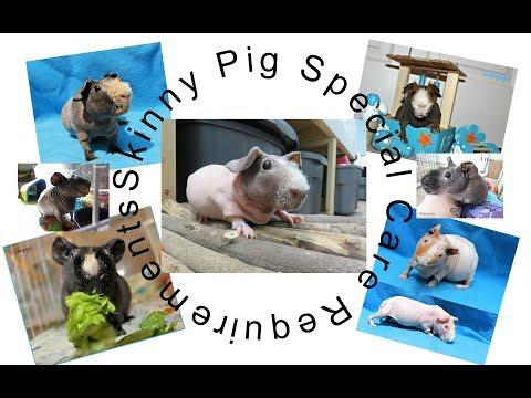 Caring For Skinny Pigs VS Guinea Pigs