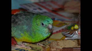Red Rumped Parrot Detail Photos