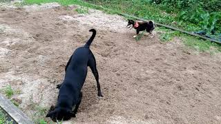 For her little puppy friend, Big black is trying to dig out the bon...