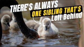 Super Cute Birds  Dawlish Black Swan Cygnets Entering the Water in Dawlish  Unedited