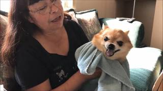 Chihuahua Jack Does Not Like Taking His Medicine