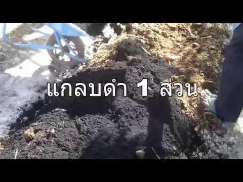 การปลูกมะนาวในวงบ่อซีเมนต์แบบรองฝาและลงดิน ตอน1/3