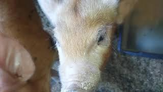 Свиньи как бизнес идея / Как начали кушать поросята/Игры с поросятами)