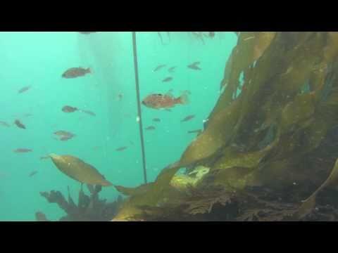 Spearfishing in Mendocino County, California