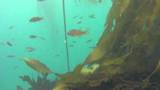 Spearfishing in Mendocino County, California