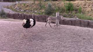 Giant Ostrich Hunts Zebras. Incredible Footage 10 Feet 3 Meter Tall Ostrich Chasing Horses In Africa