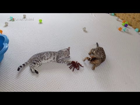Bengal Kittens reacts to giant remote controlled Spider   4K